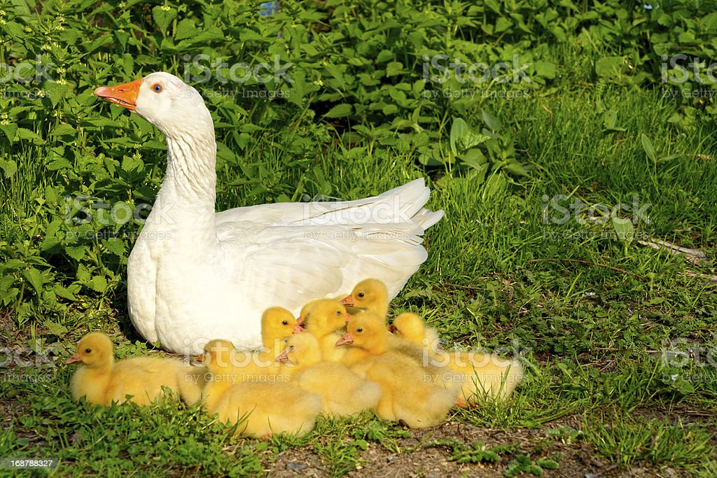 Goose family stock photo