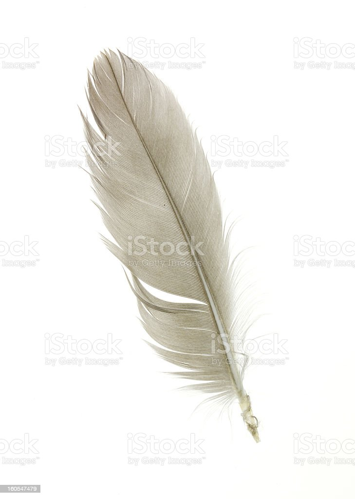 goose feather royalty-free stock photo