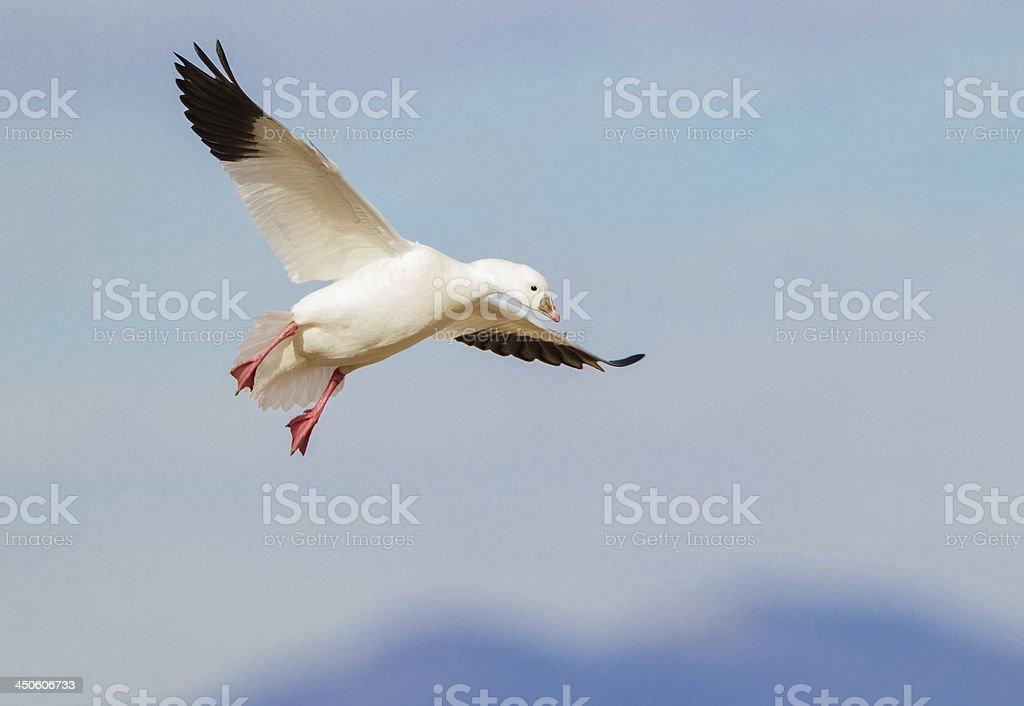 Goose Flying royalty-free stock photo
