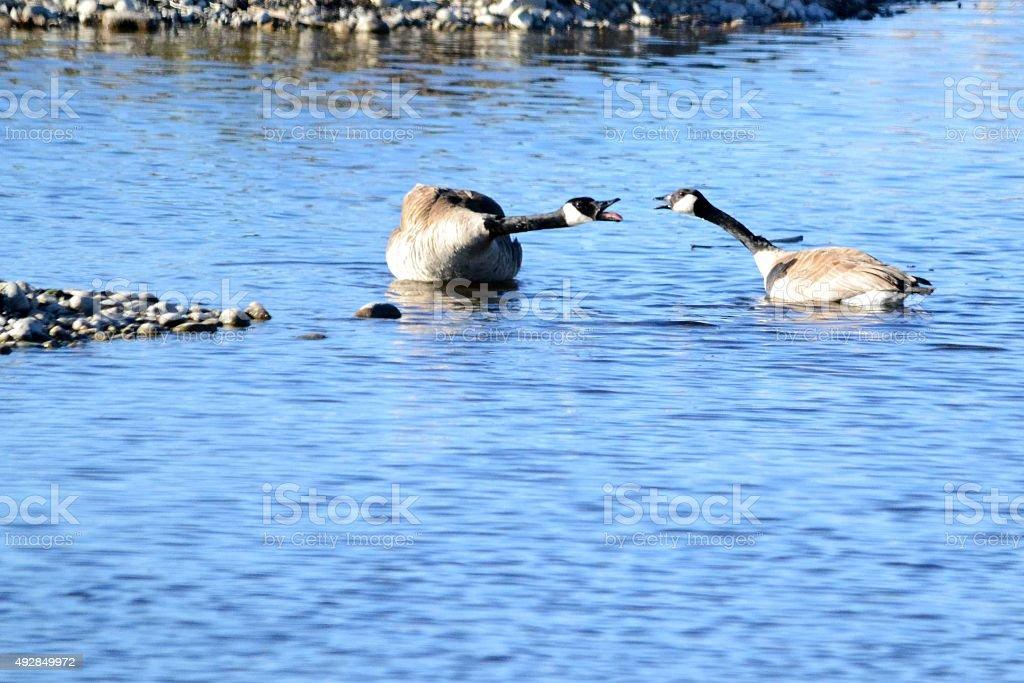 Goose Gossip stock photo