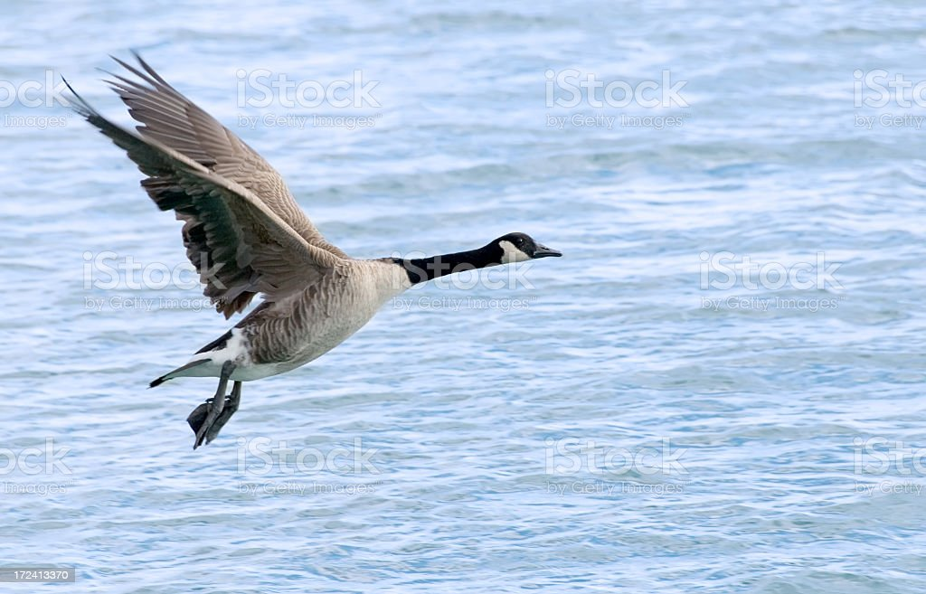 Goose In Flight royalty-free stock photo