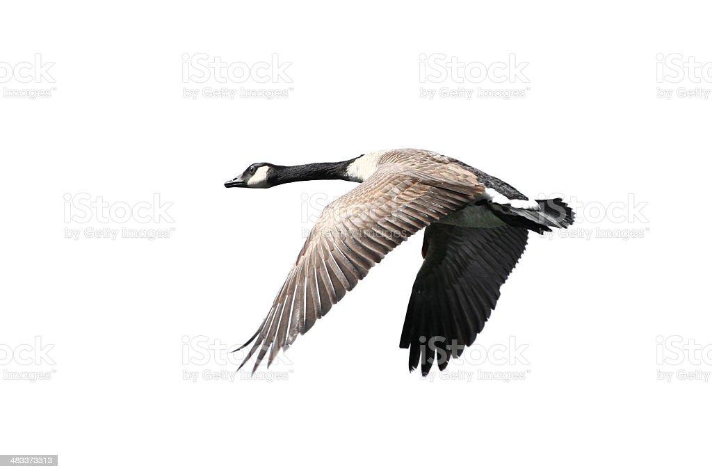 Goose in Flight stock photo