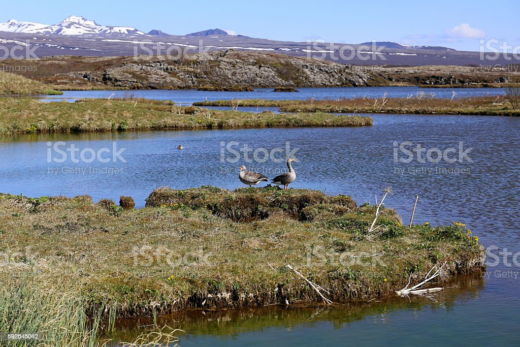 Goose in Iceland stock photo