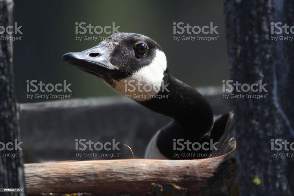 Goose in nesting box stock photo