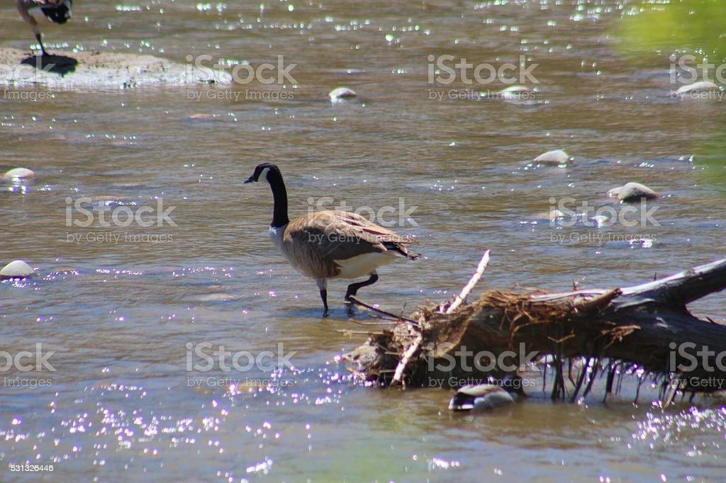 Goose in River stock photo