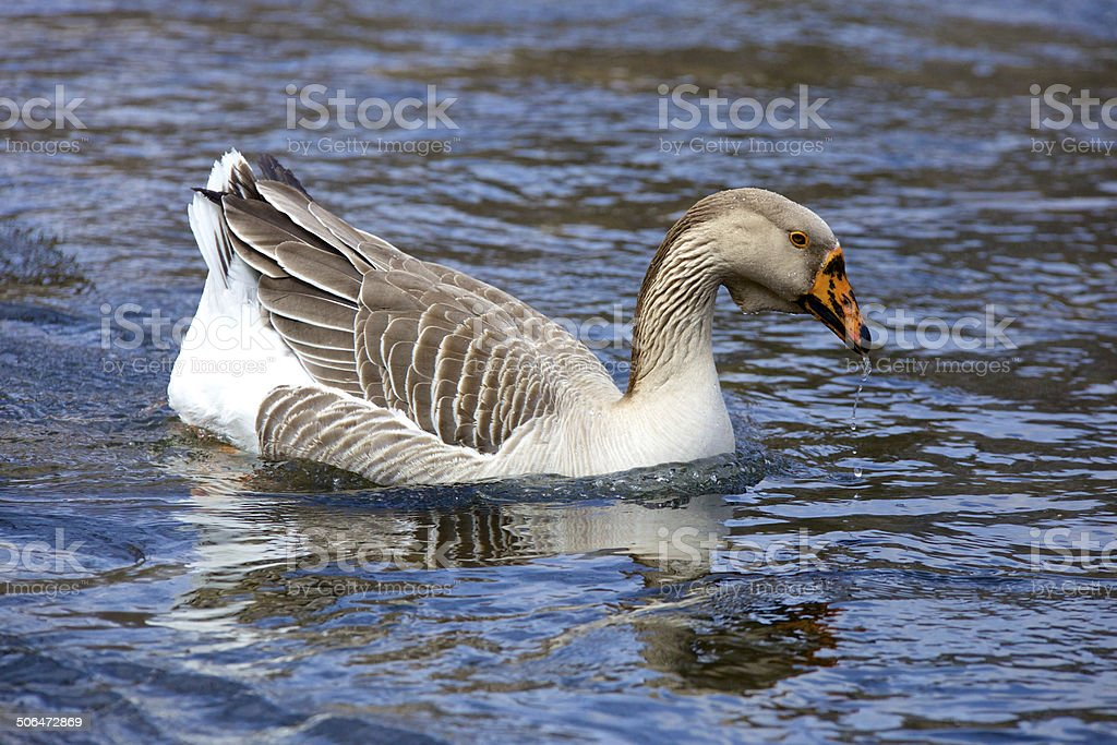 Goose in the River stock photo