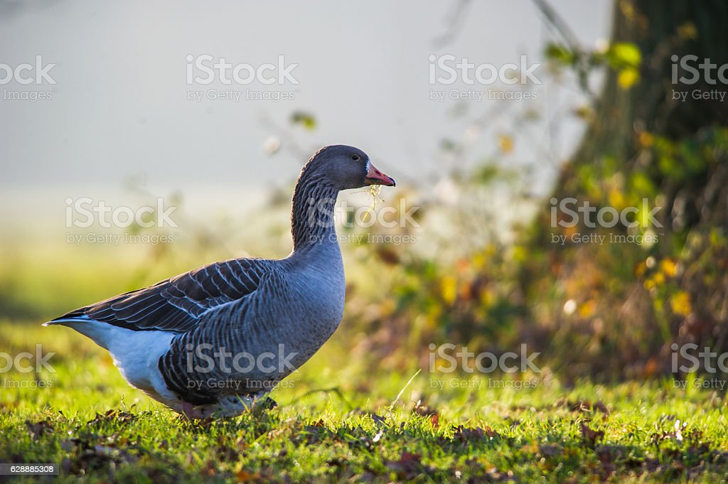 Goose in the shade of the tree stock photo
