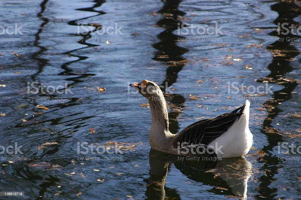 Goose In Water stock photo