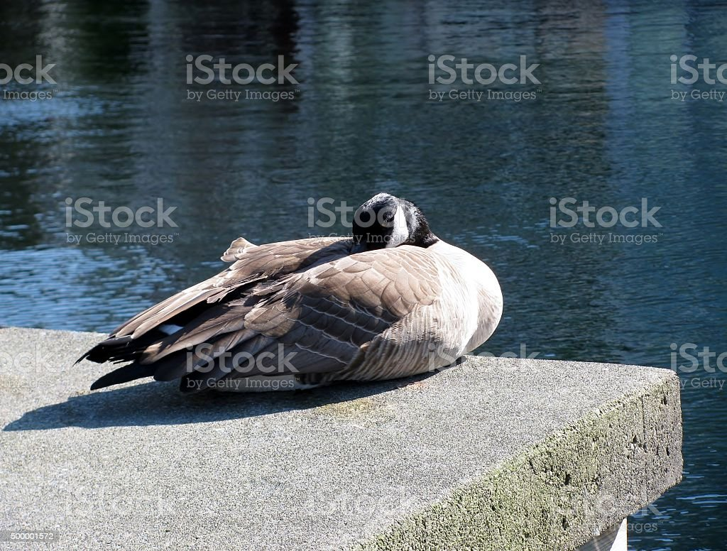 Goose is sitting on a concrete tile near water stock photo