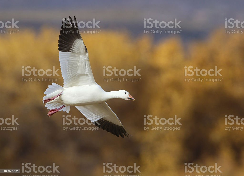 Goose Landing in Corn Field stock photo
