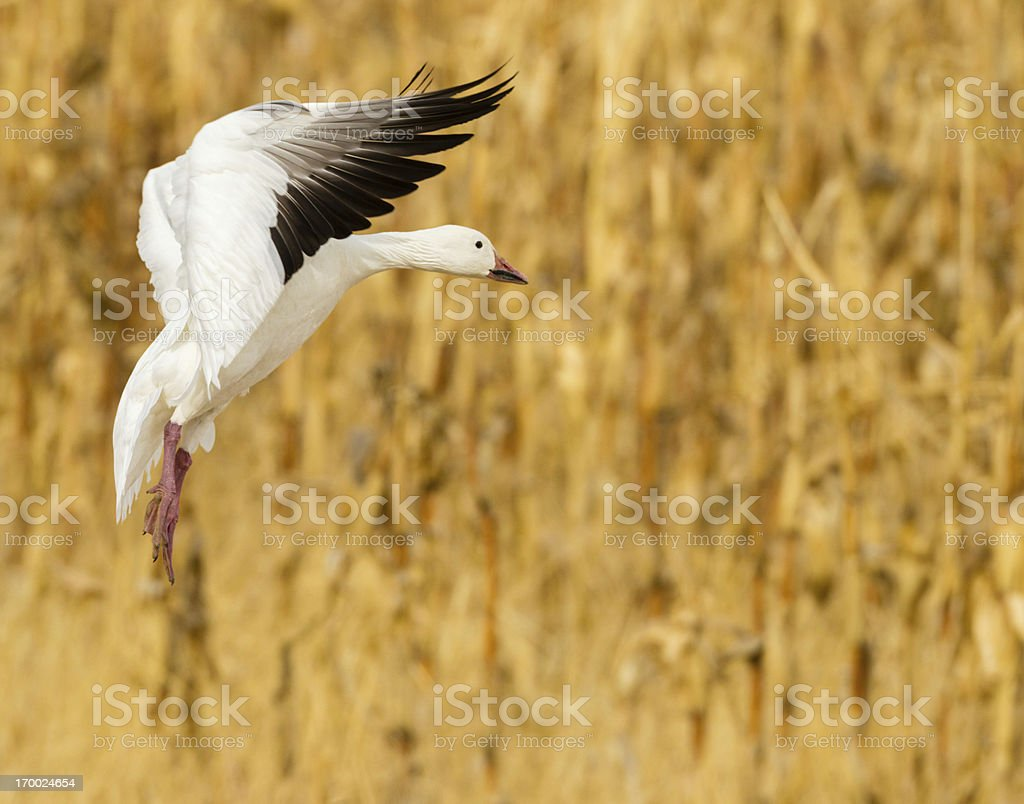 Goose Landing in Corn Field royalty-free stock photo