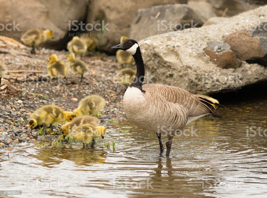 Goose mother Huddled Together Near Chicks Babies stock photo
