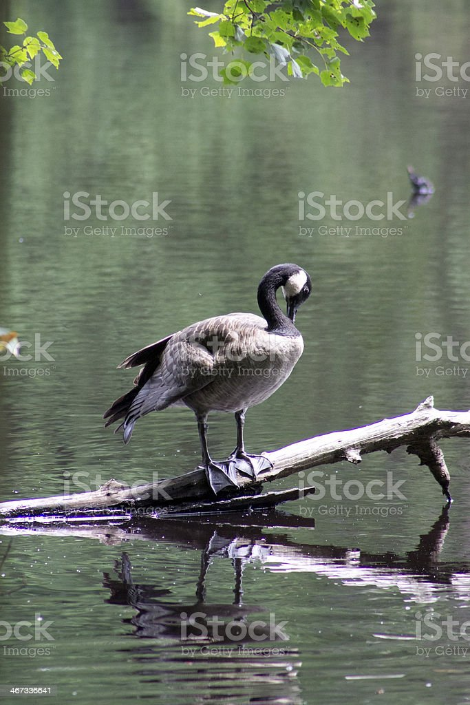 Goose on a Branch stock photo