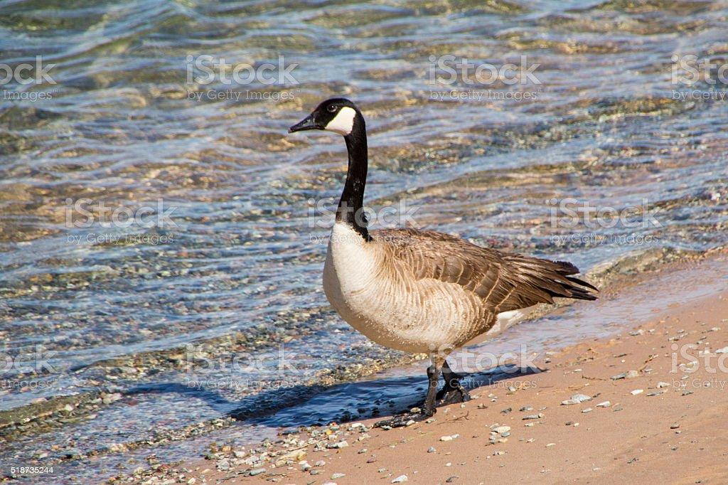 Goose on Beach stock photo