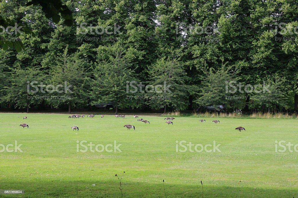 Goose on Cambridge stock photo