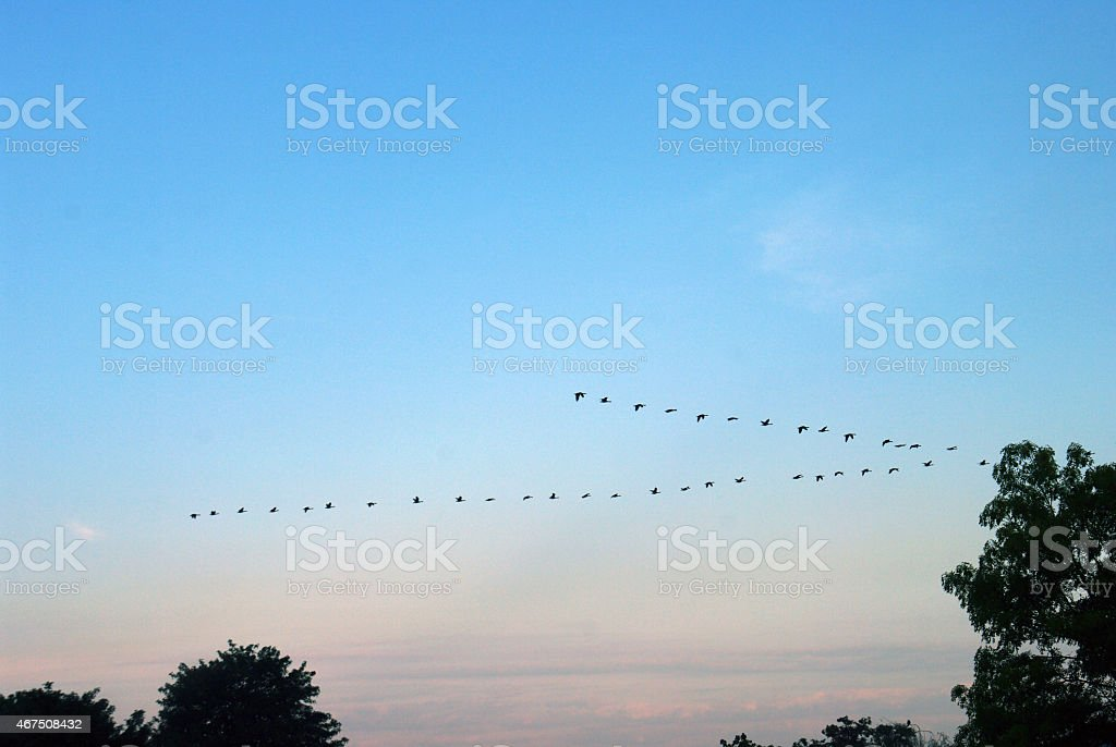 Goose on migration stock photo