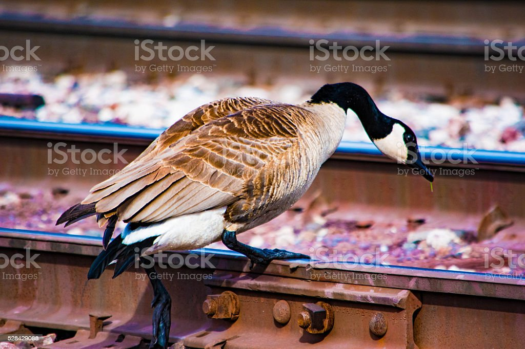 Goose on Railroad Tracks royalty-free stock photo