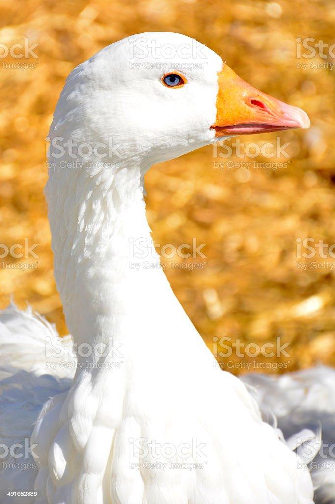 Goose on the farm royalty-free stock photo