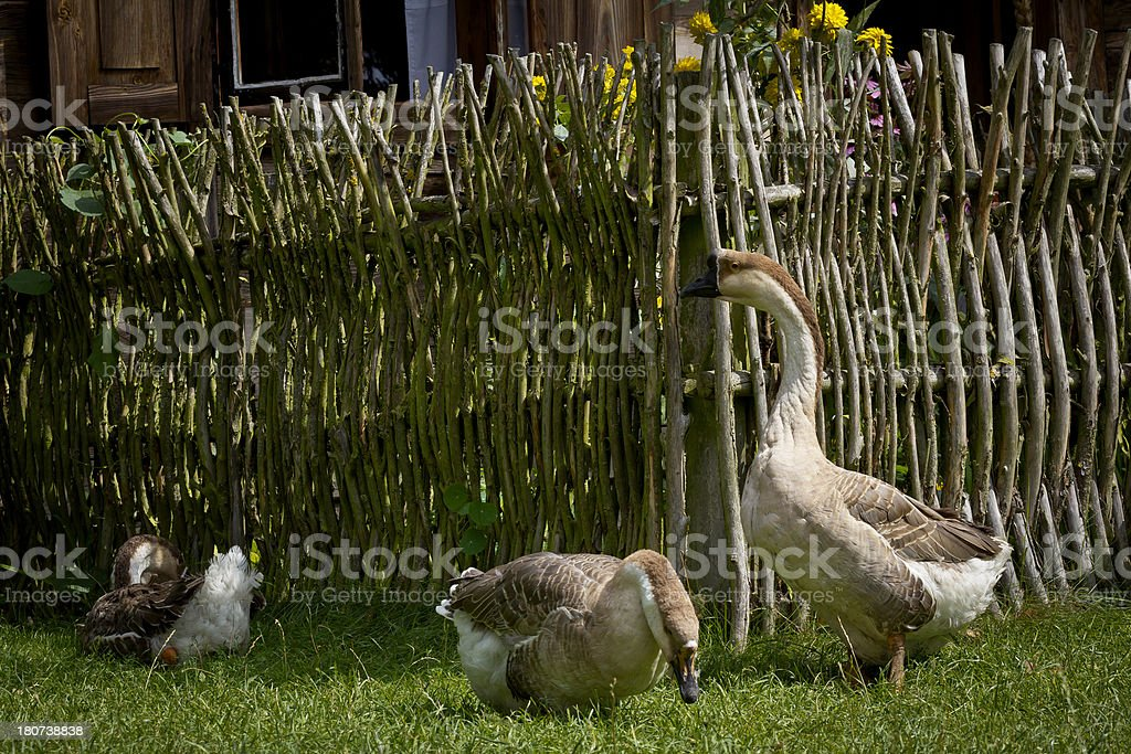 Goose on the rural yard royalty-free stock photo