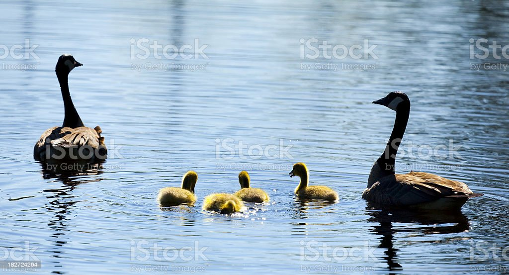 Goose Parents Protect and Teach Young Family, Gosling Chicks stock photo