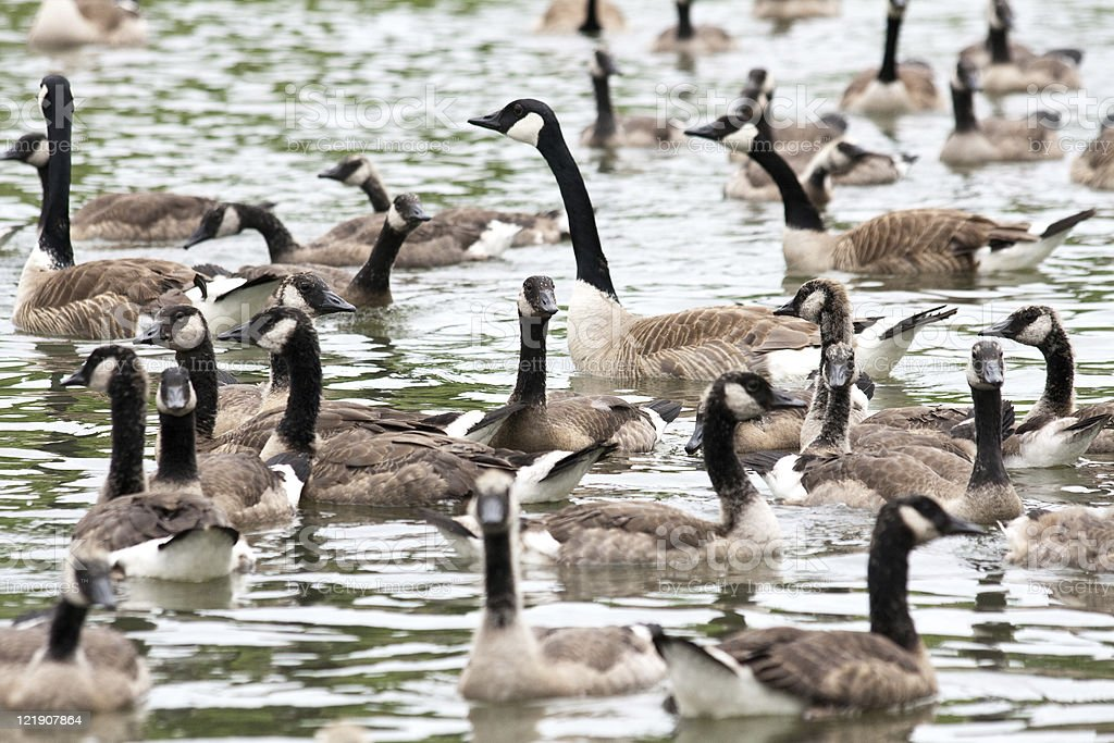 Goose partying stock photo