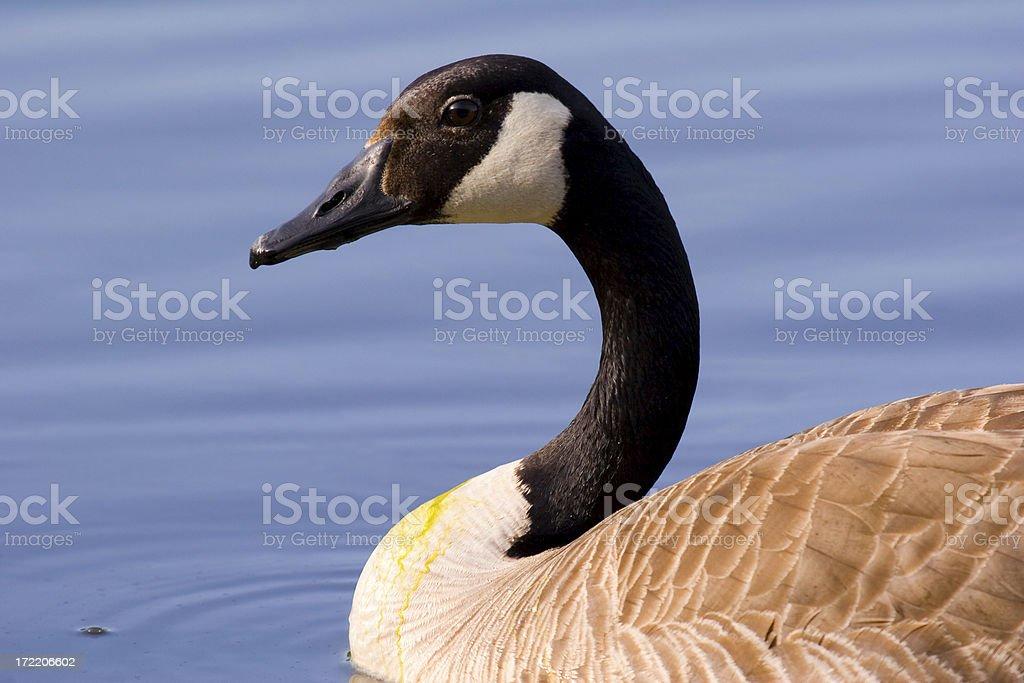 Goose royalty-free stock photo