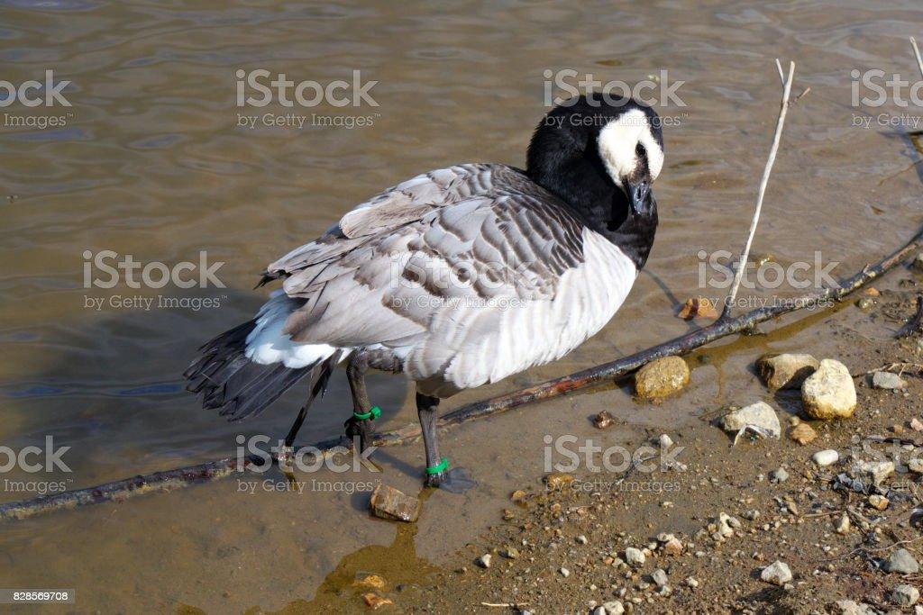 Goose stock photo
