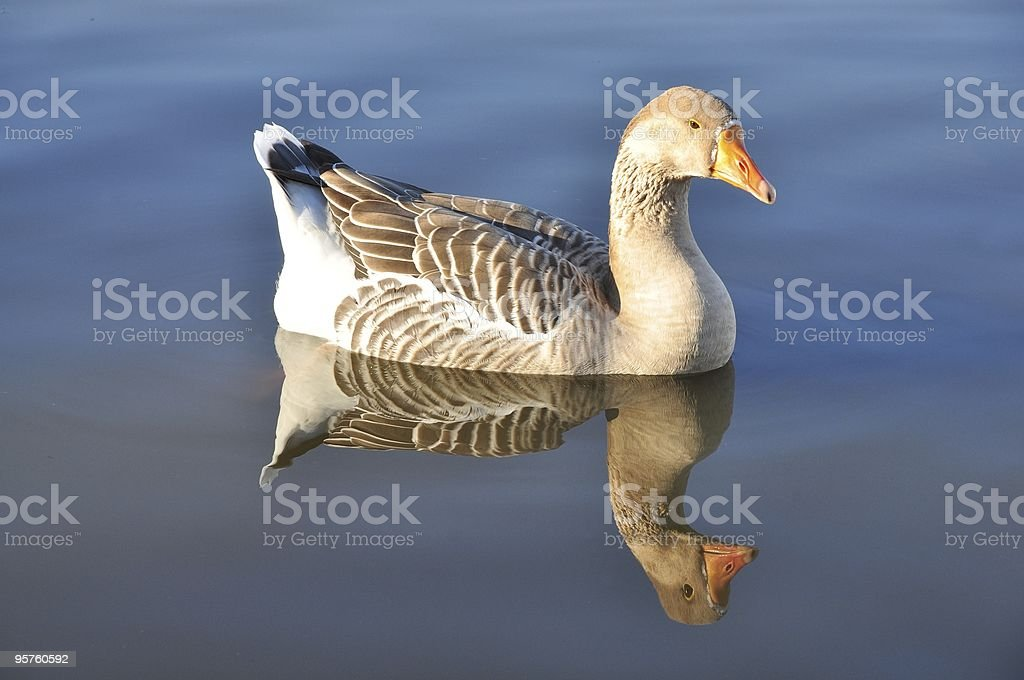Goose swimming in pool with reflection stock photo