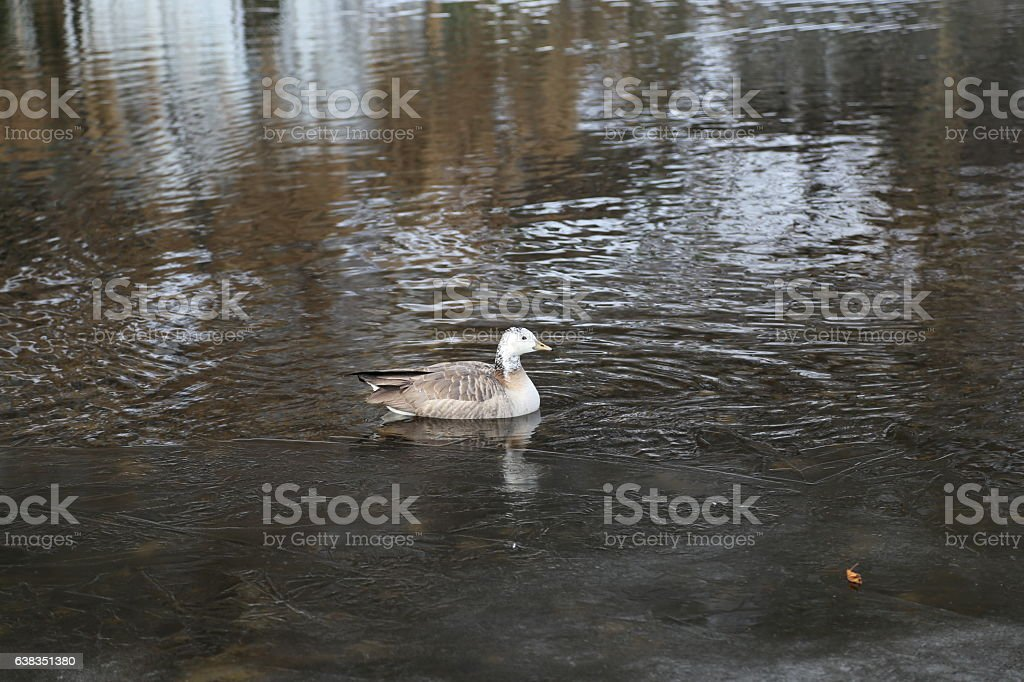 Goose swimming in the river stock photo