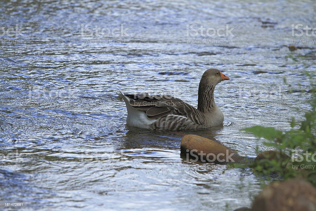 Goose Swimming Up The River stock photo