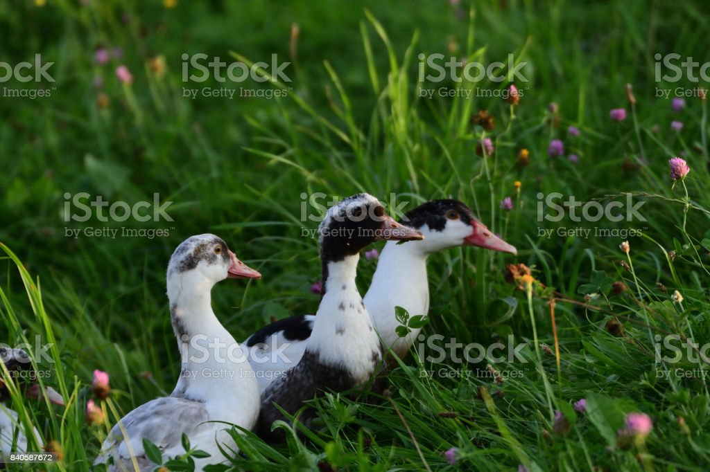 goose walking and grazing the grass stock photo