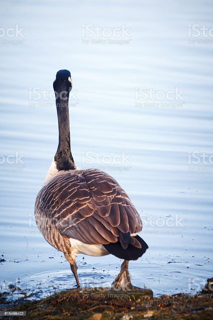 Goose walking on the lake in Helsinki, Finland stock photo