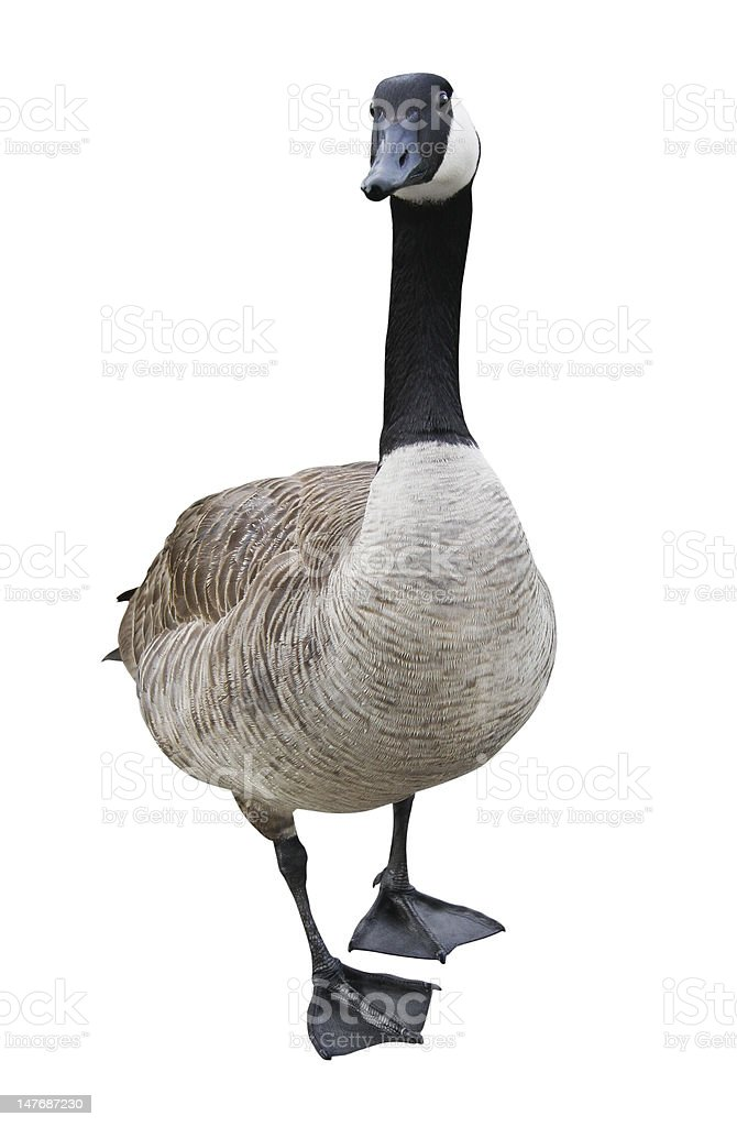 Goose with Clipping Path stock photo
