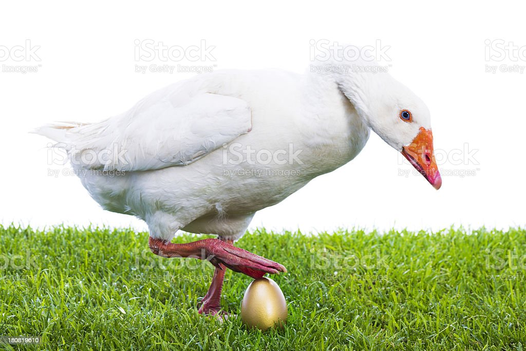 Goose with golden egg stock photo