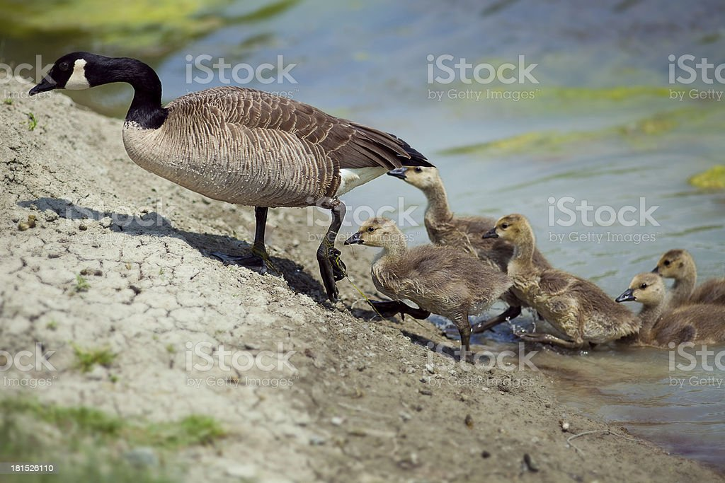 Goose with kids getting out of the water royalty-free stock photo