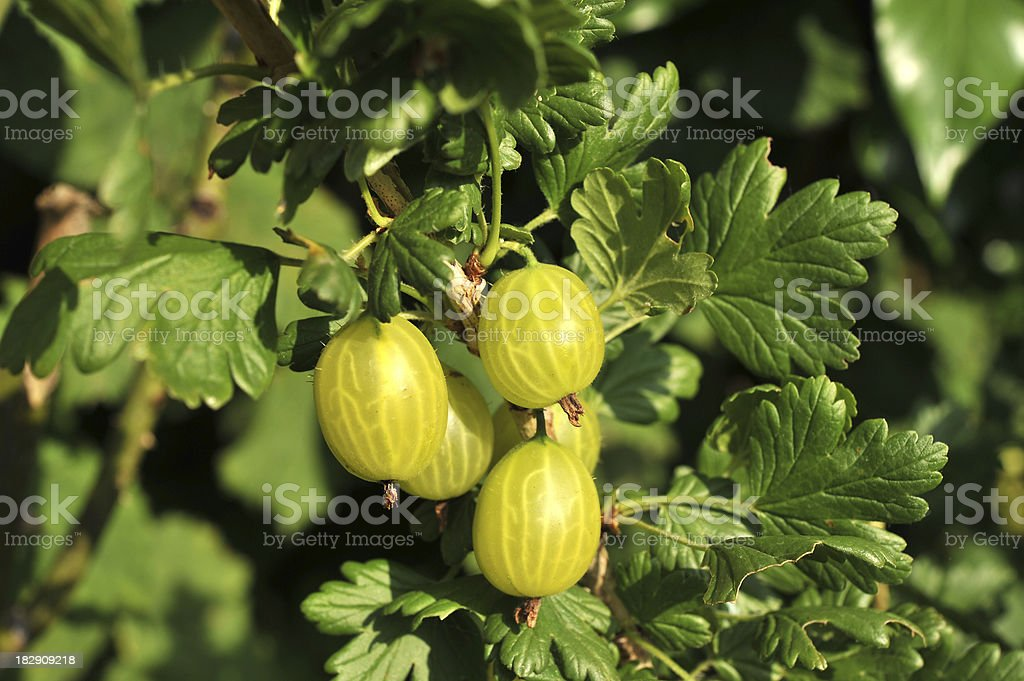 Gooseberries growing on the Gooseberry bush royalty-free stock photo