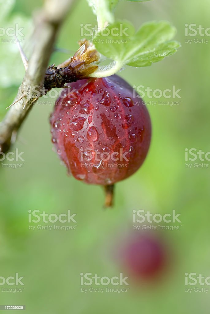Gooseberries  #2 royalty-free stock photo