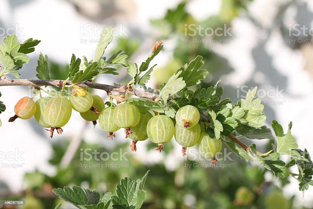 Gooseberries stock photo