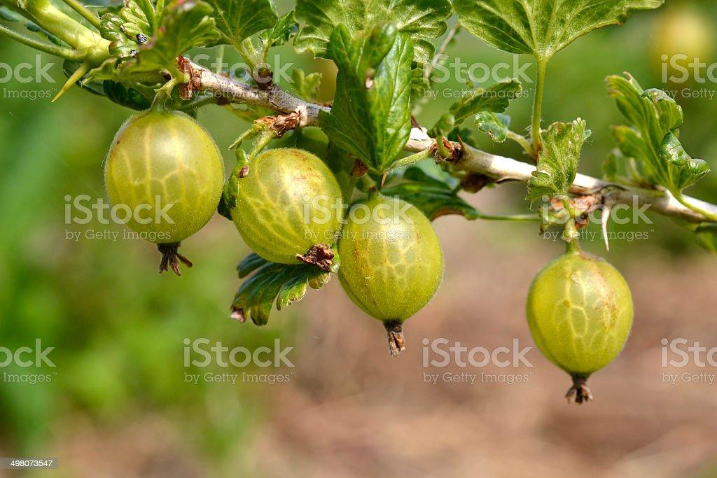 Gooseberries. stock photo