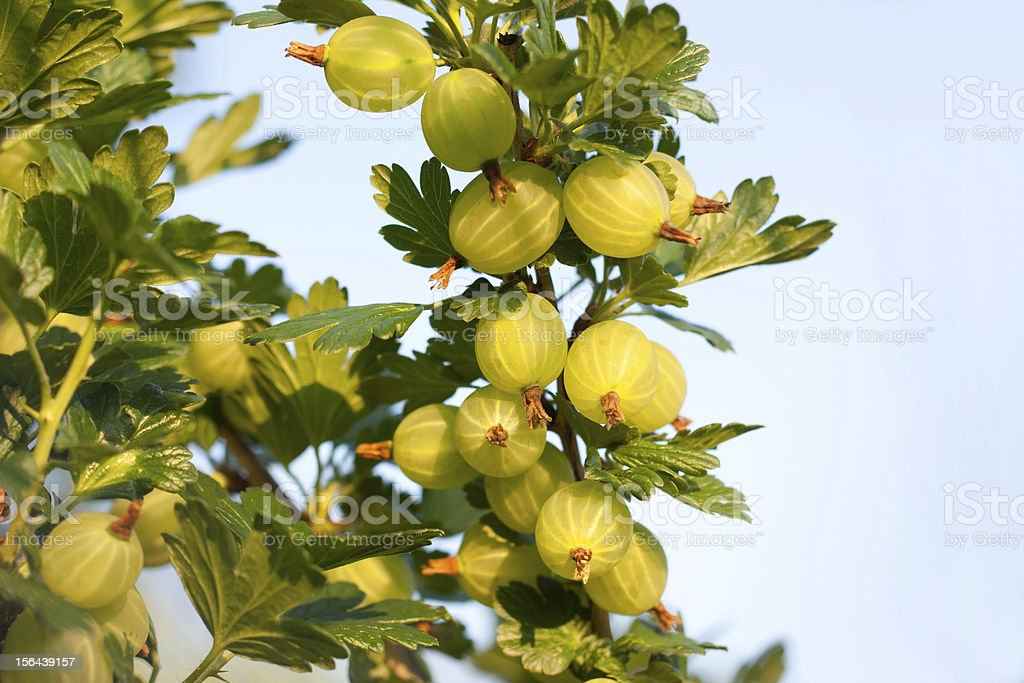 Gooseberries ripening on their branches royalty-free stock photo