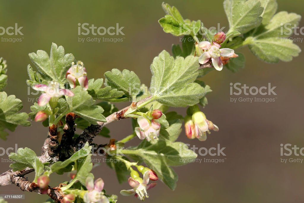 Gooseberry blossom royalty-free stock photo