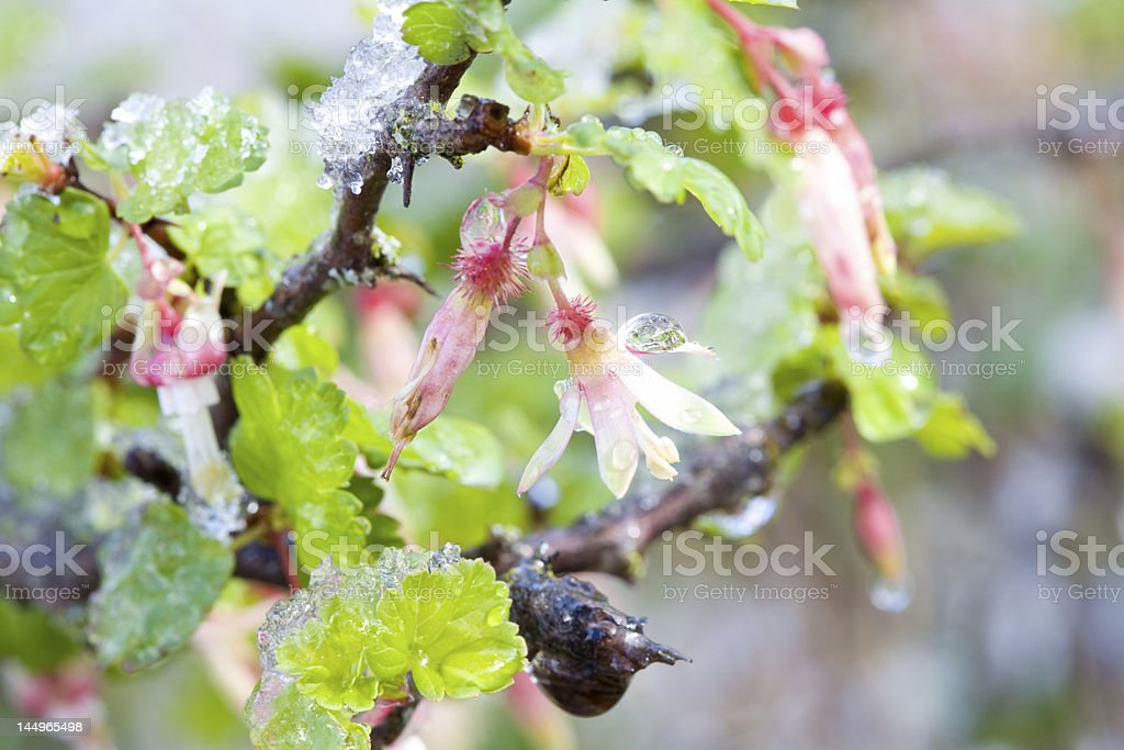 Gooseberry Blossoms in the Snow royalty-free stock photo