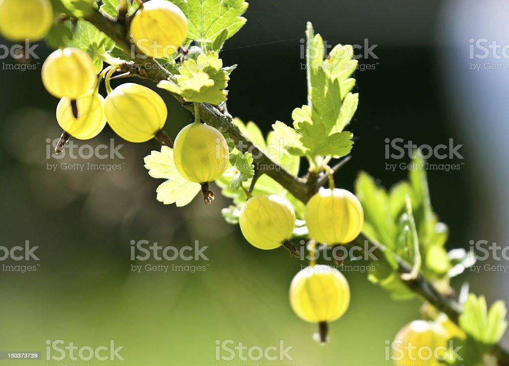 Gooseberry branch royalty-free stock photo