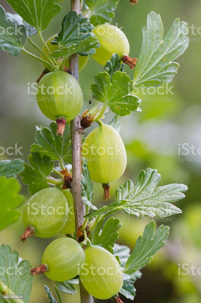 Gooseberry Bush stock photo