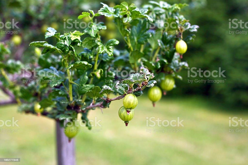 Gooseberry bush with ripe fruits royalty-free stock photo