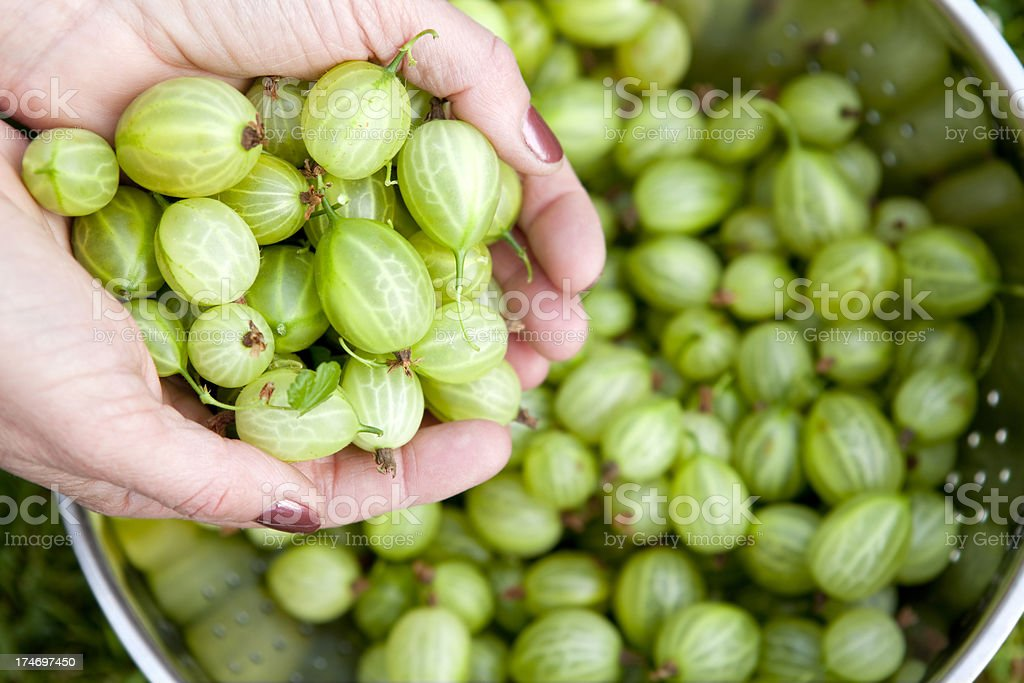 Gooseberry Harvest royalty-free stock photo