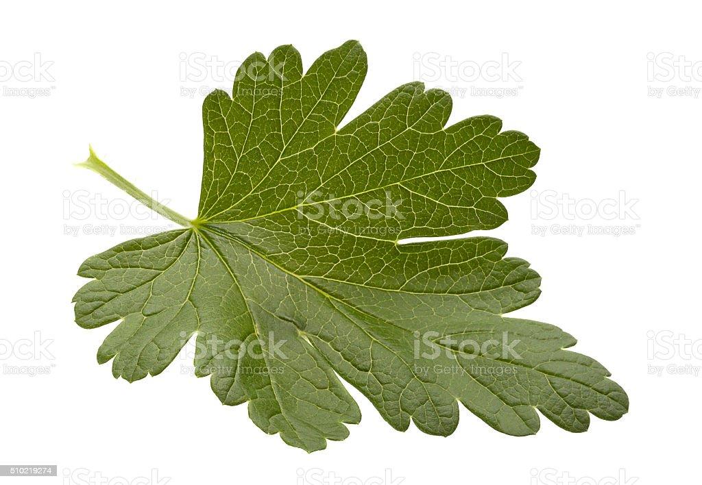 Gooseberry leaf on white stock photo