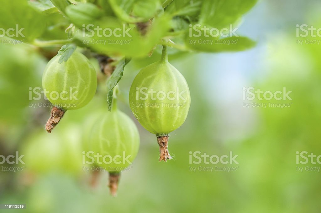 Gooseberry on a branch royalty-free stock photo