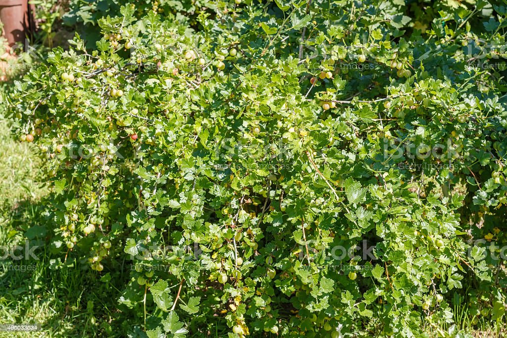 Gooseberry with berries growing  in the  ground. stock photo