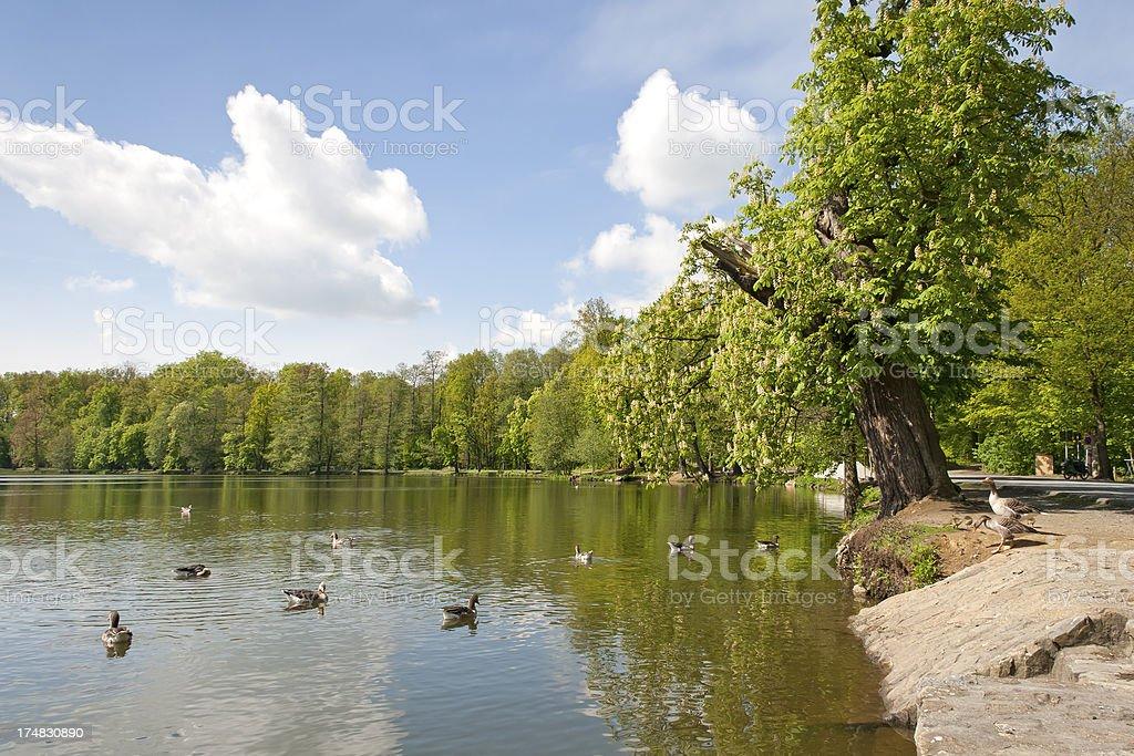 Gooses at a lake stock photo
